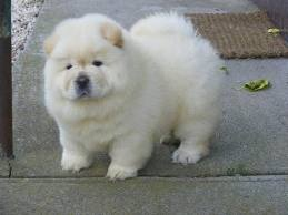 lovely male chow chow puppys